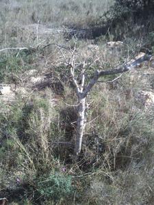 Recuperación y evolución de dos olivos yamadori (2014 - ACTUALIDAD) Th_984594990_DSC_0058_122_389lo